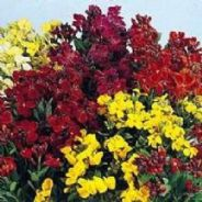 Wallflower Bedding mixed - Appx 2400 seeds